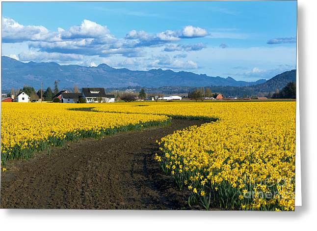 Daffodil Lane Greeting Card by Mike Dawson
