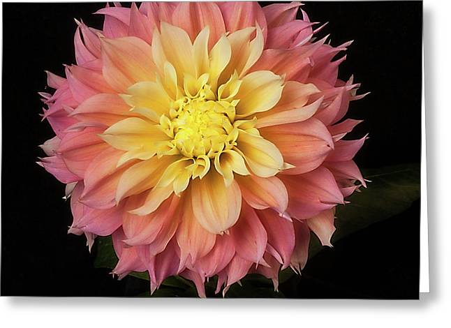 Dahlia 'kogane Fubuki' Greeting Card