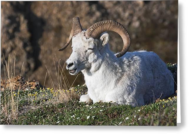 Dall Sheep Ram  Ovis Dalli Dalli  Lying Greeting Card by Alissa Crandall