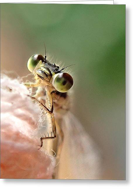 Damsefly Greeting Card by Lorella  Schoales