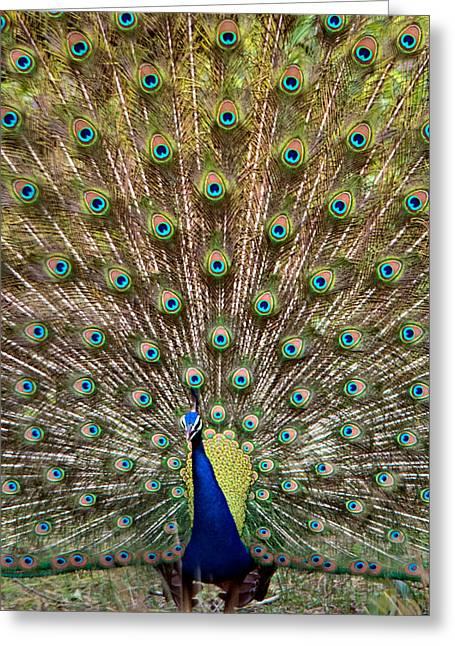 Dancing Peacock, Kanha National Park Greeting Card by Panoramic Images