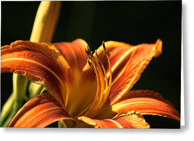 Day Lilly Greeting Card by Rick Friedle