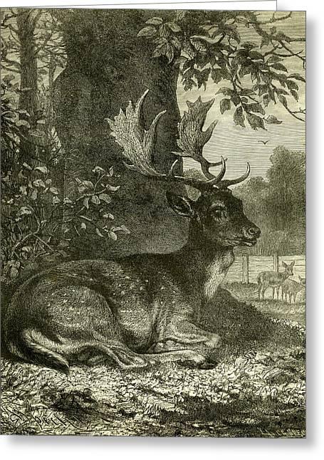 Deer Greeting Card by Austrian School