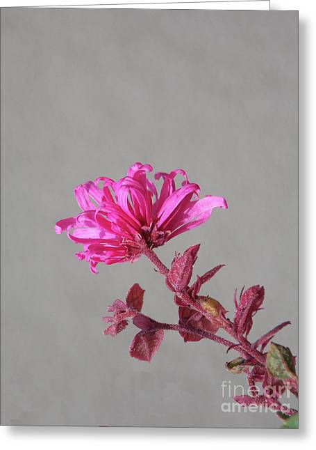 Delicate In Pink Greeting Card by Skip Willits