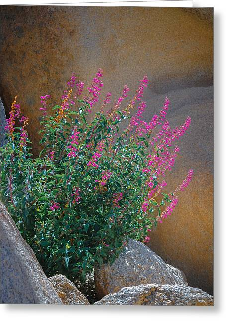 Desert Lupine Greeting Card by Joseph Smith