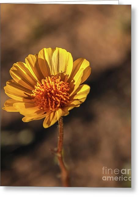 Greeting Card featuring the photograph Desert Sunflower by Robert Bales