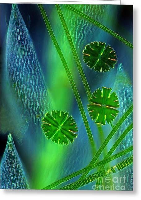 Desmids Near Sphagnum Leaf Lm Greeting Card by Marek Mis