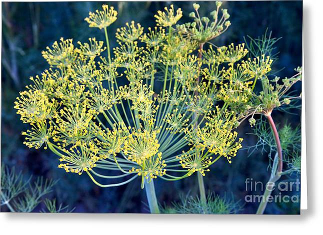 Dill Flowers Greeting Card by Inga Spence