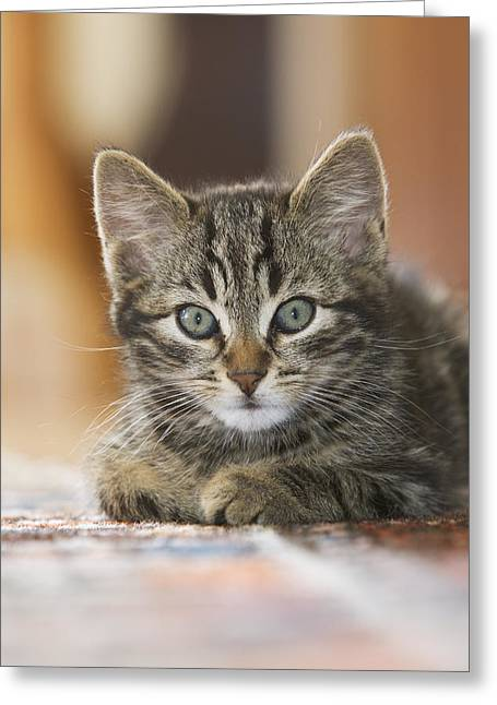 Domestic Cat Felis Catus Kitten Greeting Card by Konrad Wothe