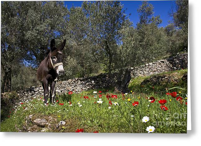 Donkey In Greece Greeting Card by Jean-Louis Klein & Marie-Luce Hubert