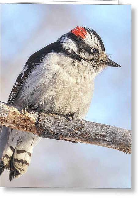 Downy Woodpecker On A Cold Day In Minnesota Greeting Card