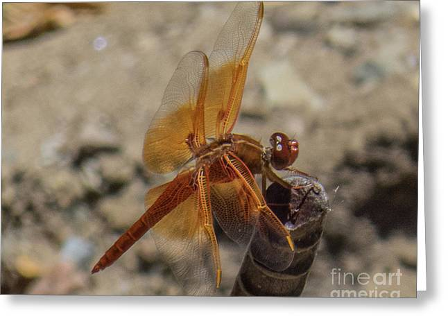 Dragonfly 18 Greeting Card