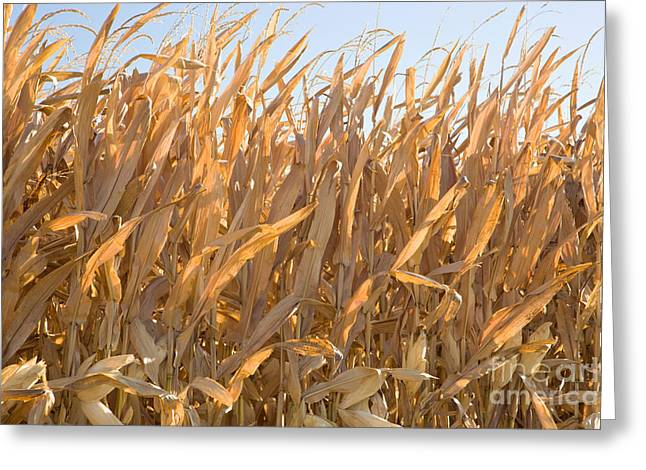Dry Corn Stalks Greeting Card by Inga Spence