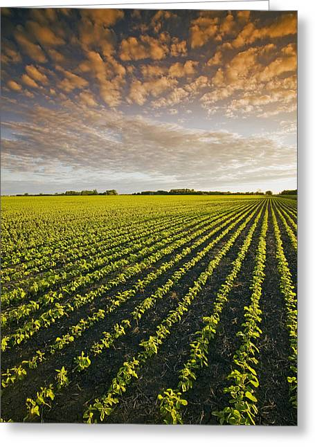 Green Beans Greeting Cards - Early Growth Soybean Field Greeting Card by Dave Reede