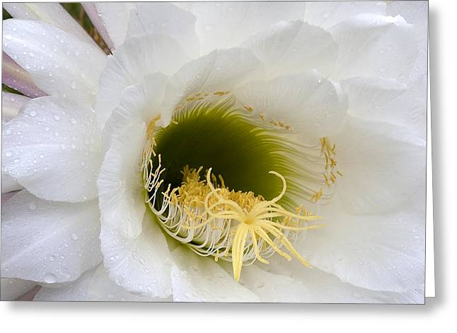 Greeting Card featuring the photograph Easter Lily Cactus by Phyllis Denton
