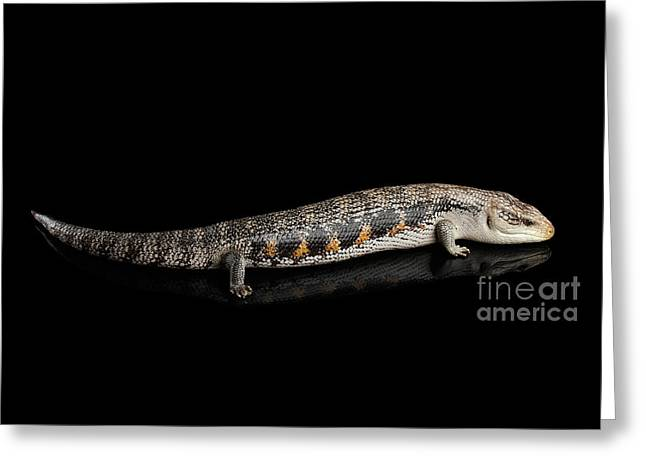 Eastern Blue-tongued Skink, Tiliqua Scincoides, Isolated On Black Background Greeting Card by Sergey Taran