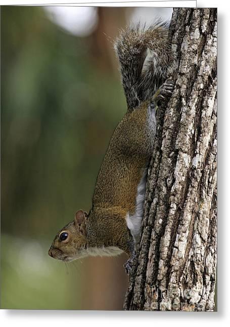 Eastern Gray Squirrel Greeting Card by Sohns/Okapia