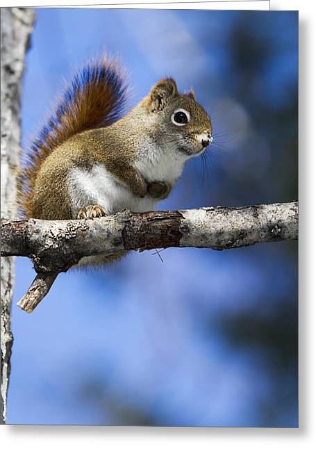Eastern Grey Squirrel  Sciurus Greeting Card by Philippe Henry