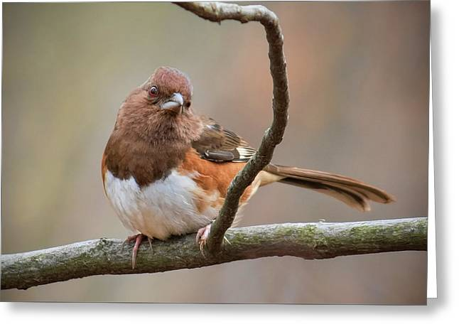 Eastern Towhee - Female Greeting Card by Ron Grafe