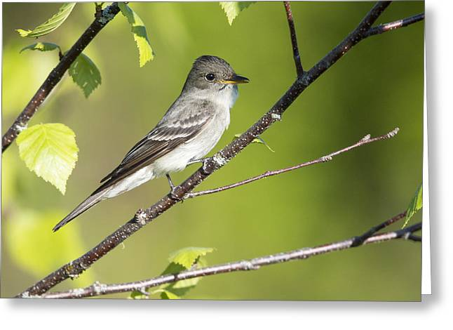 Eastern Wood Pewee Flycatcher Greeting Card