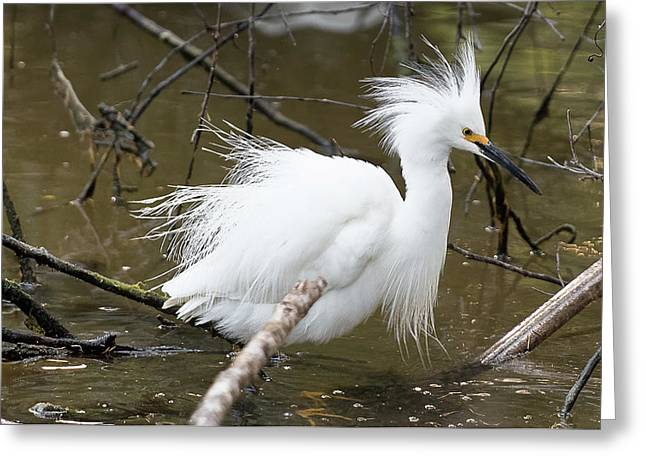 Egret Bath Greeting Card