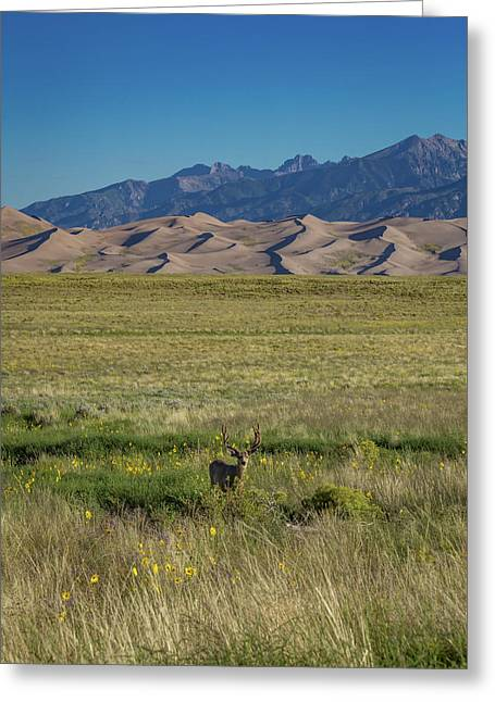 Eight Point Buck In The Grass Lands Of The Great Sand Dunes Greeting Card