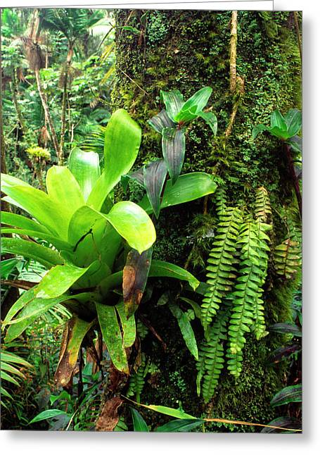 Epiphytic Greeting Cards - El Yunque National Forest Greeting Card by Thomas R Fletcher