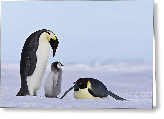Emperor Penguins And Chick Greeting Card by Jean-Louis Klein & Marie-Luce Hubert