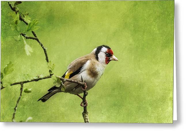 European Goldfinch Carduelis Carduelis Greeting Card by Liz Leyden
