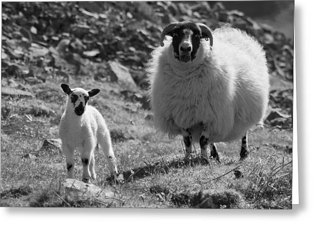 Ewe And Lamb No2 Greeting Card by John Cox