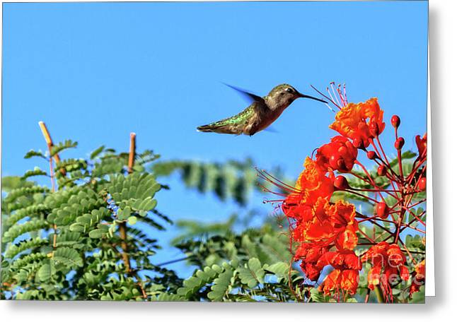 Feeding  Anna's Hummingbird Greeting Card by Robert Bales