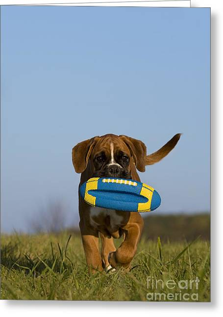 Fetching Boxer Puppy Greeting Card