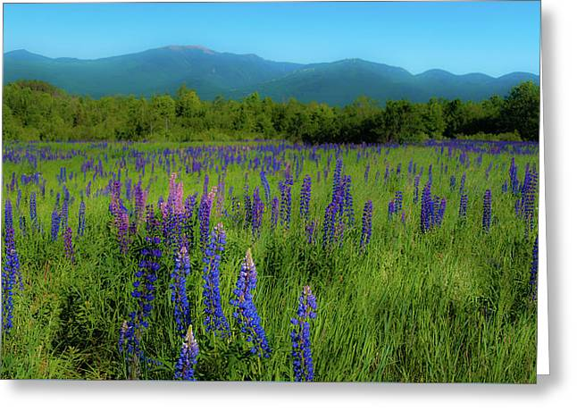 Greeting Card featuring the photograph Field Of Lupines by Brenda Jacobs
