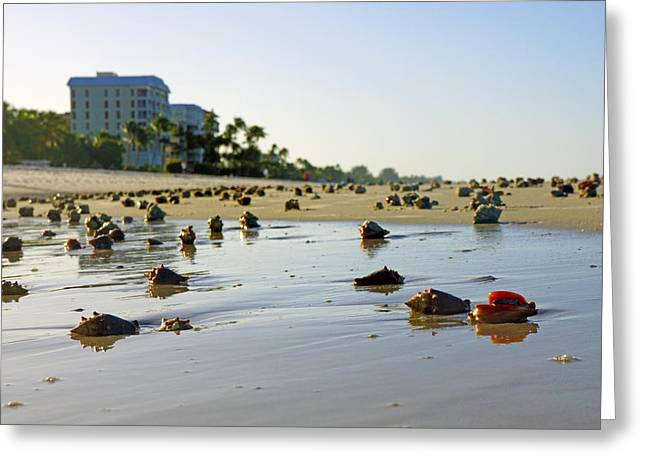 Fighting Conchs On The Beach In Naples, Fl Greeting Card by Robb Stan