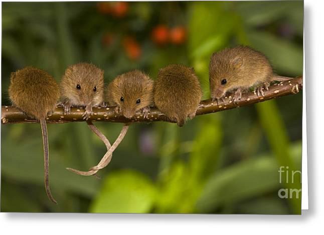 Five Eurasian Harvest Mice Greeting Card by Jean-Louis Klein & Marie-Luce Hubert