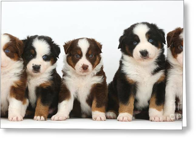Five Miniature American Shepherd Puppies Greeting Card by Mark Taylor
