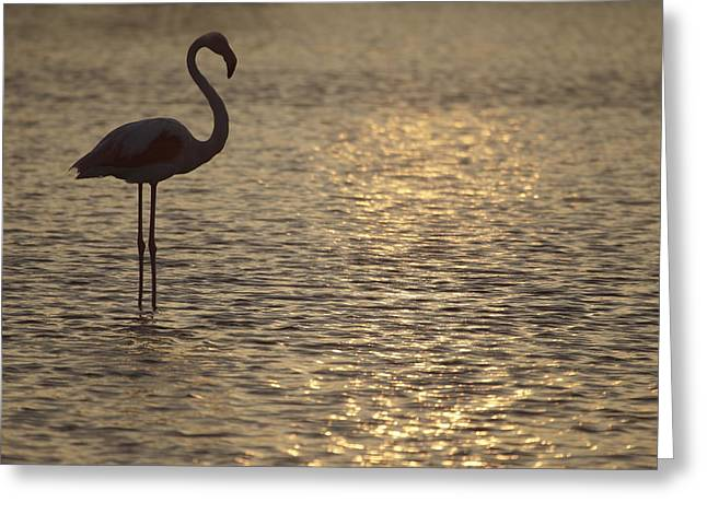 Flamingo Standing In Lake In France By The Light Of The Setting Sun Greeting Card