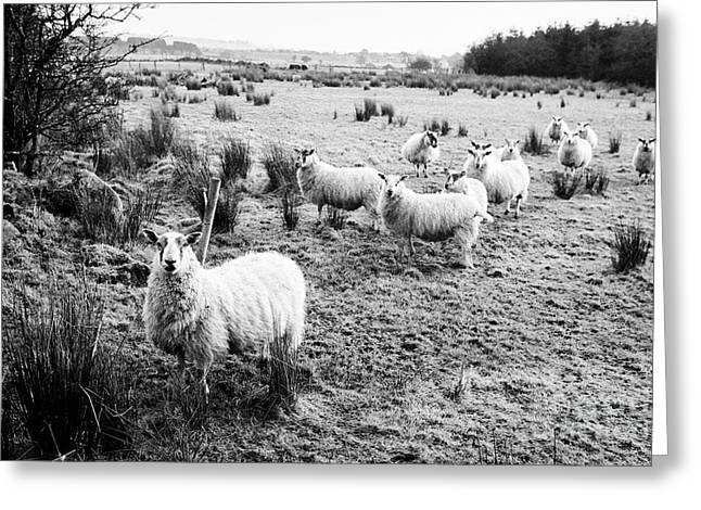 Flock Of Sheep In A Field Ballymena, County Antrim, Northern Ireland, Uk Greeting Card