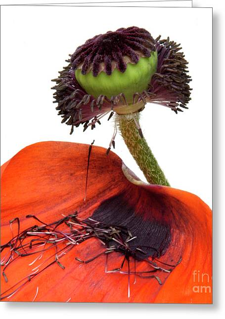 Flower Poppy In Studio Greeting Card by Bernard Jaubert