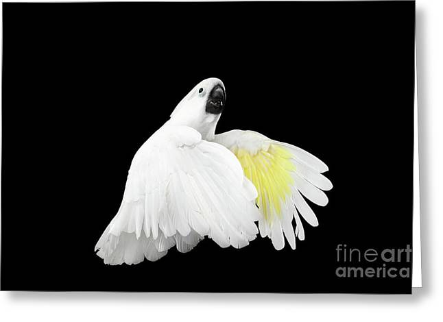 Flying Crested Cockatoo Alba, Umbrella, Indonesia, Isolated On Black Background Greeting Card by Sergey Taran