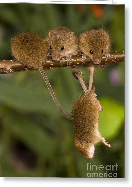 Four Eurasian Harvest Mice Greeting Card by Jean-Louis Klein & Marie-Luce Hubert