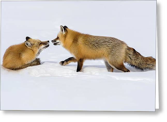 Greeting Card featuring the photograph Fox Love by Brenda Jacobs
