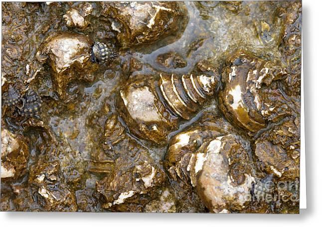 Gastropod Fossils Greeting Card