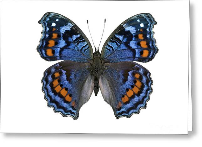 Gaudy Commodore Butterfly Greeting Card by Lawrence Lawry