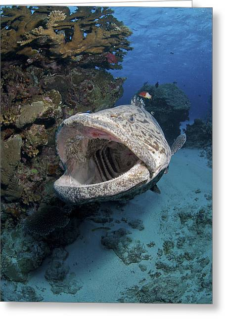 Grouper Greeting Cards - Giant Grouper, Great Barrier Reef Greeting Card by Mathieu Meur