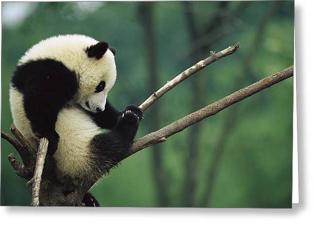 Sichuan Province Greeting Cards - Giant Panda Ailuropoda Melanoleuca Year Greeting Card by Cyril Ruoso