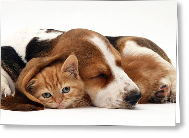 Ginger Kitten And Basset Puppy Greeting Card by Jane Burton