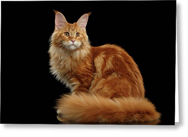 Ginger Maine Coon Cat Isolated On Black Background Greeting Card