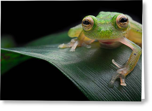 glass frog Amazon forest Greeting Card