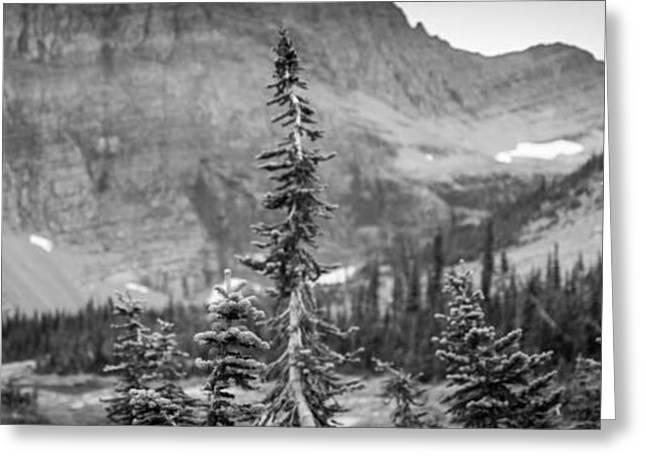Gnarled Pines Greeting Card